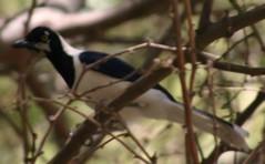 Cyanocorax mystacalis White-tailed Jay