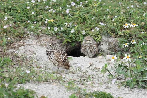 burrowing owls 1-26-08 074