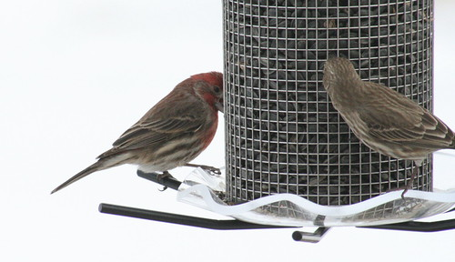 house finch with seed 5