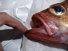 Rødfisk