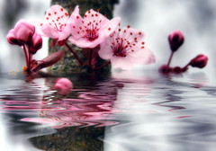 First blossoms flooded (jodi_tripp) Tags: flowers reflection tree water flood blossoms plum joditripp spring08 challengeyouwinner wwwjoditrippcom photographybyjodtripp