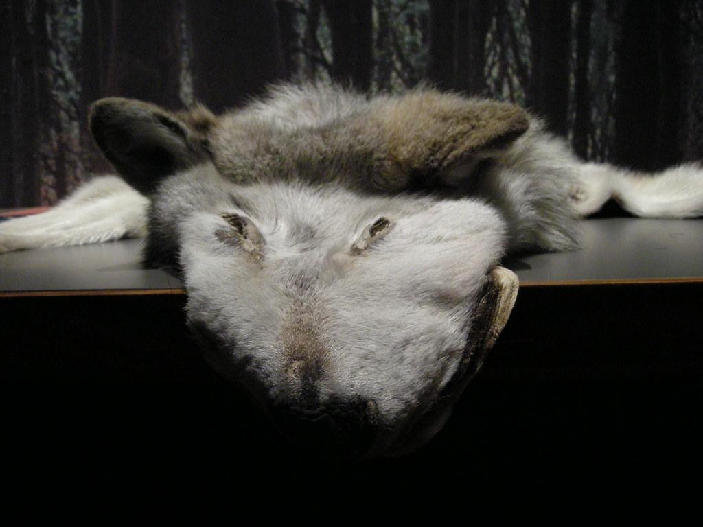 Flat Wolf