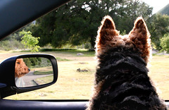 maggie's got an eye for rodents (artfilmusic) Tags: dog mirror squirrel maggie welshterrier