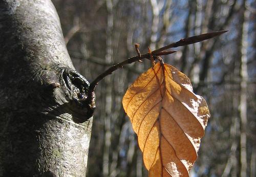 Old beach leaf