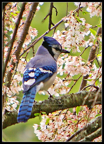 Bluejay & cherry blossoms