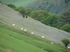 sheep guard the bluebells (snowman*1) Tags: flowers bluebells wales landscapes walks sheep superbmasterpiece