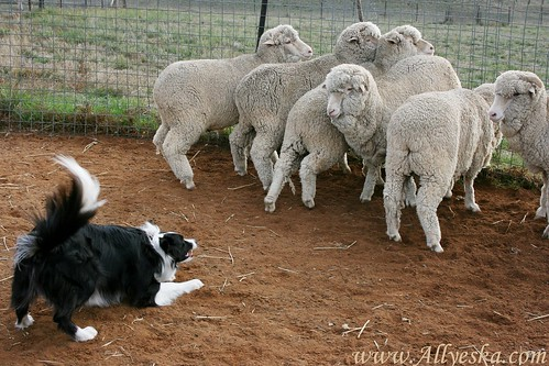 Toby's first time with sheep
