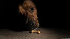 Sneaky Treat (C.A.Photogenics) Tags: dog flash colour contrast animal night day a7rii sony exposure beautiful still eye uk light portrait artistic lens art