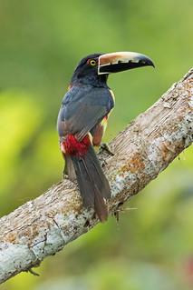 Collared Aracari (Pteroglossus torquatus)