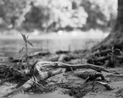 the root. (brian hefele) Tags: tree love beach water 50mm pentax hc110 wv westvirginia harpersferry f2 root mx ilford 502 panf smcpa50mmf20