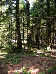 La forêt de sapins et de vieux arbres entourant la plaine d'Uovacce