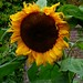 Mr Sunflower