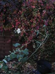 Back garden climber, w/ hollyhock