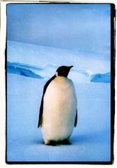 The Emperor Penguin (gamma><addict) Tags: snow cold ice expedition penguin frozen antarctica artic midnightsun antarctic emperorpenguin sanae 19761977 arcticantarctic arcticantarctica