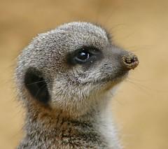 Meerkat (mx5barry) Tags: wildlife meercat supershot flickrsbest mywinners anawesomeshot aplusphoto firsttheearth diamondclassphotographer flickrdiamond overtheexcellence betterthangood goldwildlife exquisiteimage
