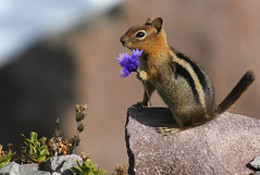 Chip has a Girlfriend (4Durt) Tags: flower craterlake cuteoverload spermophilussaturatus curttoumanian cascadegoldenmantledgroundsquirrel photodomino502