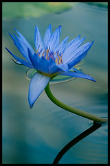 Blue lotus flower at Kacho-en (Eric Flexyourhead) Tags: blue flower japan lotus kakegawa kachoen zd olympuse500 40150mm shizuokaken