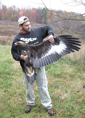 show-and-tell golden eagle 2 (Todd Katzner)