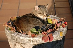 2007-10-11 059 Dormint en un test / Sleeping in a flowerpot (visol) Tags: cat gata chatte mixa tickedtabby