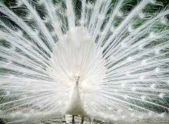 White Peacock (gsb_viva) Tags: life white nature wonderful zoo peace superb unique wildlife peacock class single goodshot beauties loveable mystic prosperity wildanimals wonderfull shaani beautifulcapture superbshot birdsanctury beautifulindia mustview gsbviva uniqueclass superbclass