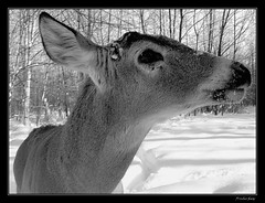 WinterFriend 2 (fredurbans) Tags: winter blackandwhite nature canon landscape snowshoe friend noiretblanc quebec powershot deer explore getty neige wilderness paysage parc bnw raquette chevreuil longueuil nohdr a540 powershota540 aplusphoto fredurbans
