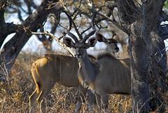 Kudu couple (jeremyhughes) Tags: trees grass southafrica bush nikon shade antelope d200 nikkor ram kudu ewe greaterkudu nikond200 tragelaphusstrepsiceros 300mmf4d greaterstlucia
