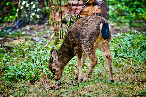 A Black-Tail Shows Off Its Black Tail - a young deer at Silver Falls State Park in Oregon