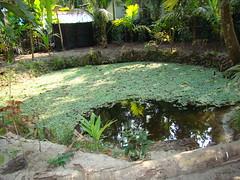 Kulam with Payal (sanal_vv) Tags: pond kulam keralavillagepond