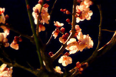Pink Plum Blossoms in the Night, Japan (_takau99) Tags: trip travel pink flowers vacation holiday flower color macro cute beautiful topv111 japan night lumix japanese tokyo march spring shrine colorful ueno blossom blossoms plum panasonic    2008 ume  yushima  tenjin   tenmangu   fx30   takau99  dmcfx30