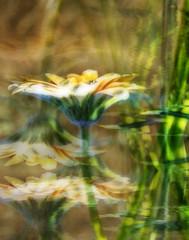 Daisy peach mutiples (jodi_tripp) Tags: flower green nature golden bokeh digitalart peach multiples daisy layers firstquality joditripp challengeyouwinner wwwjoditrippcom photographybyjodtripp