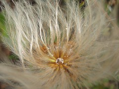 poofy closeup (Tangie Daul) Tags: park flowers macro beautiful alaska landscape angie national vegetation denali mountians tangie daul angiedaul