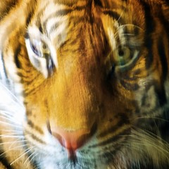 Eye of the Tiger (Erik K Veland) Tags: orange blur colour eye animal animals square zoo eyes pattern stripes tiger sydney australia motionblur squareformat nsw saturation newsouthwales shape tarongazoo bsquare