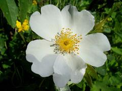 Rose sauvage macro