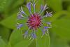 Cornflower - IMG_3402x