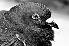 "Macro Mondays ""B&W"" (kiareimages1) Tags: macromondays blackwhite bn animal animali oiseaux uccelli birds macro"