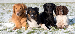 just dogs (Flemming Andersen) Tags: animal outdoor snow winther dogs hund nature jelling regionsyddanmark denmark dk