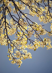 maylight (lucy.loomis) Tags: flowers light sky sun white tree spring branches blossoms may flowering