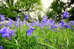 The Last of the Bluebells ? (Taracy) Tags: blue bluebells bells cilfynydd