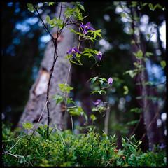 Nature's Observations (laura_bostonthek) Tags: lake film analog rolleiflex mediumformat germany botanical clematis vine alpine wildflower purpleflower eibsee zugspitze colorslide grainau
