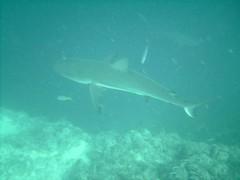 PICT0086 (JoseQ) Tags: blue mar hole great tiburones buceo caribe submarinismo tiburón