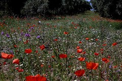 Calabria: flower meadow in olive grove 52.237.02 (Juergen Kurlvink) Tags: travel italien red vacation italy flower tree green rot field geotagged e