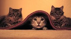 Hiding (louv) Tags: cats cute cat carpet three oscar twins many abby under kittens explore kitteh marrakesh threesome hiding groups cc200 cc100 lolcats bestofcats