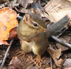 Eastern chipmunk \
