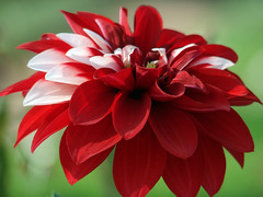 Red and White (aamir.waheed) Tags: searchthebest soe excellence mywinners platinumphoto superbmasterpiece diamondclassphotographer flickrdiamond top20red ysplix flickrelite macromarvels excellentsflowers