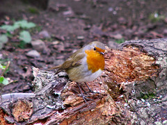Robin on a Log (Jennie Anderson) Tags: autumn red orange brown tree nature robin birds colours thankyou wildlife explore cannockchase supershot anawesomeshot