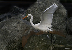 Great Egret on the Rocks (raineys) Tags: california santacruz bird nature wings wildlife greategret naturesfinest specanimal animalkingdomelite raineys anawesomeshot scphoto