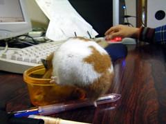 20071212 - 02 (kayako_) Tags: hamster pon