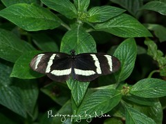 stripy butterfly (mommahnina) Tags: butterfly stripy