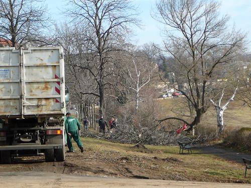 Baumfällarbeiten an der Bautzner Straße (03)