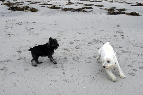 Black and White Rory playing with our Miniature Schnauzer puppy Oscar on the